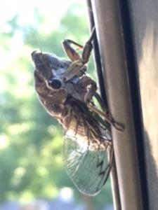 Cicada friend
